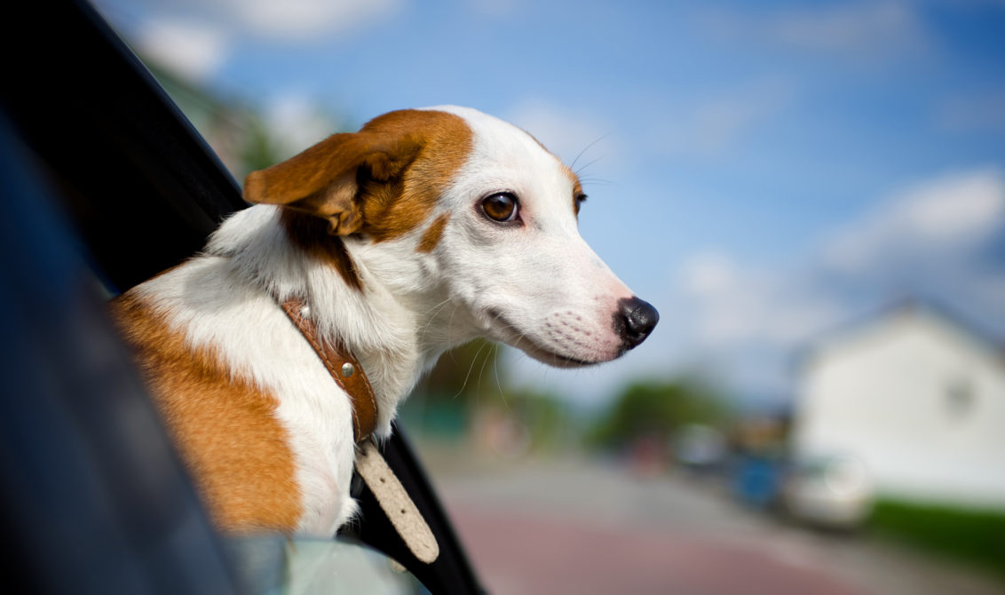 Nice dog enjoying his ride on a car